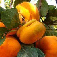 柿子苗批发 甜柿子苗哪里有卖 富有 次郎 阳丰 高产柿子苗基地·