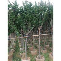 福建园艺场大量优质小叶紫薇,移栽假植袋苗批发