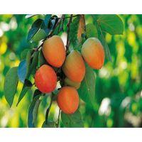 牛心柿子苗多少钱一棵 5公分牛心柿子树价格