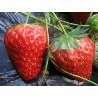 草莓苗大棚种植妙香七号草莓苗 盆栽草莓苗技术