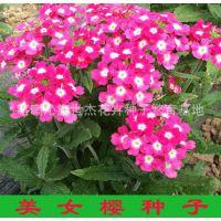 美女樱种子 盆栽美女樱种子种苗 矮株美人樱籽 优质美女樱种