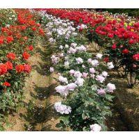 江苏月季花基地批发市场 出售月季花盆栽苗、月季花工程苗