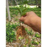 出售20公分高北海道黄杨树苗价格 山东黄杨树苗种植批发基地