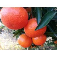 供应千思农林 适合广东地区种植中晚熟柑橘世纪红柑橘苗