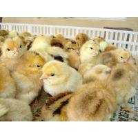 土鸡苗 湖北华绿生态农业 专业供应优质土鸡苗