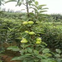红富士苹果苗原因