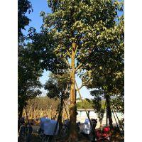 江西25公分秋枫移植苗,江西哪里专业提供秋枫树