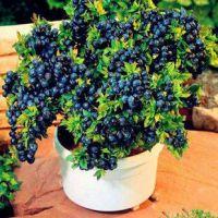 蓝莓苗批发 优质蓝莓苗 盆栽地栽苗 高度30-50cm 南北方种植 成活率100% 欢迎来购