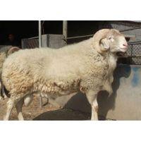 小尾寒羊快速出栏技术,养殖小尾寒羊快速育肥饲料