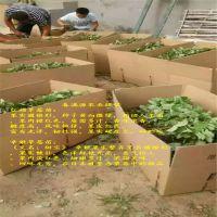 法兰地草莓苗剪枝