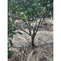 柑橘树滴灌 柑橘园灌溉 柑橘树滴灌系统
