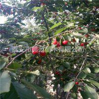 砂蜜豆樱桃苗 砂蜜豆樱桃苗价格 晚熟大樱苗品种