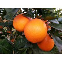 纽荷尔脐橙苗栽培管理技术主要防控菌性病害侵入