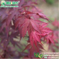 江西红镜红枫 三季观叶 日本红枫苗 城市绿化湿地公园打造工程树