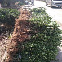 大叶黄杨苗 山东泰安常年供应优质绿化苗 果树苗 50 60公分冬青苗