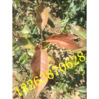 山东省泰安市早酥红梨树嫁接苗基地 1公分早酥红梨苗批发价格