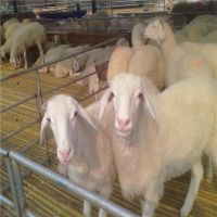 羊羔种羊 小尾寒羊羊苗 小尾寒羊活体 山西运城养殖场小尾寒羊