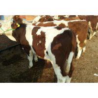 江苏什么地方有卖西门塔尔肉牛的西门塔尔肉牛养殖场