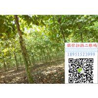 2018年四川胸径12公分法桐价格多少钱一棵风景树行道树基地