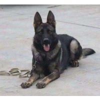 选购纯种马犬、史宾格选雷克犬舍 专业犬舍10年养殖经验13964996960