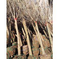 江苏丁香树基地 出售径粗4-5-6-7公分丁香树(高杆嫁接)