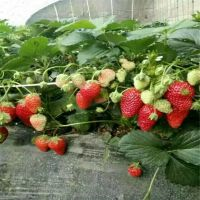 信森农业科技脱毒草莓苗品种 大棚妙香7号草莓苗价格
