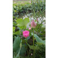 大量销售种植荷花苗找境美水生植物18833230022