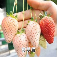 咖啡草莓苗 桃熏草莓苗 小白草莓苗 太空2008草莓苗基地