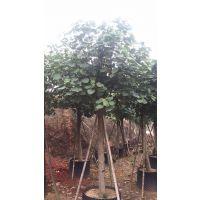 黄槿 叶子大 胸径15公分 大量供应,园林风景树,自产自销