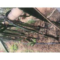 火龙果 大量生产园林花卉苗圃果树用滴箭,一进四出带滴头滴箭