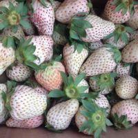 小白甜心草莓苗 妙香7号妙香3号草莓苗 宁玉草莓品种苗