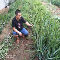 哪里火龙果苗便宜 台湾红心火龙果苗多少钱 山东红心火龙果供应