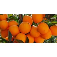 大量夏橙苗批发_哪里有夏橙苗买_夏橙苗基地销售