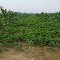 志森园艺草莓苗品种 丰香草莓苗介绍 抗病品种丰香草莓苗价格