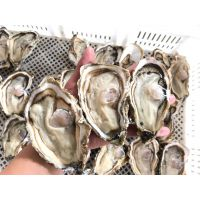 供应乳山牡蛎货源 烧烤生蚝加盟 生蚝价格
