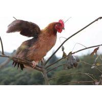 天农优品-清远麻鸡美味的秘密|炖鸡汤清水加盐,鲜香四溢