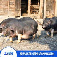 流沙河宁乡土花猪健康活体后备母猪生态散养纯种野生供养