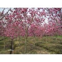 山东济南0.5-8公分玉兰绿化工程苗种植基地