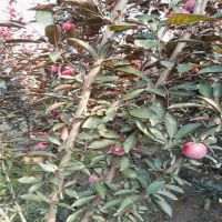 红富士苹果苗催苗