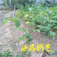 广西贺州卖核桃树苗的批发市场在哪里 泰安源昌苗圃批发