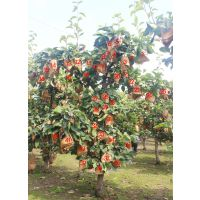 开金云南种植大户易管理耐存放抗氧化果树苗果树种植