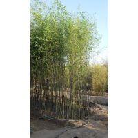怎么栽竹子成活率