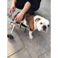 贵宾犬狗轮椅 狗狗前肢后肢受伤专用康复车 欢迎来电咨询