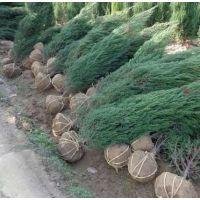 江苏松树种植基地 出售墓地专用的1-2-3米高松树苗 现挖现卖