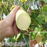 天下奇瓜 批发砍瓜种子 随吃随砍 随砍随长 特菜 长达1.5米南瓜种子 包邮