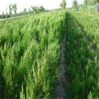 农户种植龙柏苗 40公分龙柏苗价格 50公分60公分龙柏苗供应基地