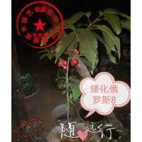 泰安瑞康苗木供应1公分矮化俄罗斯八号樱桃树苗