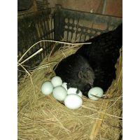 五黑绿壳蛋鸡苗批发
