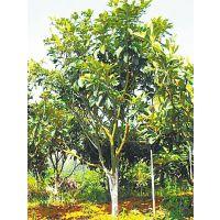 枇杷树米径3.5公分12元一棵 20107年枇杷树价格/图片