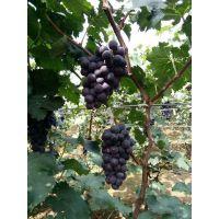 早黑宝葡萄苗多少钱一颗 品种特点特早熟丰产